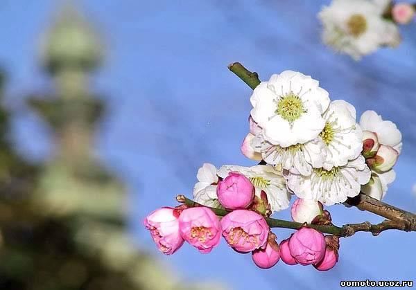 весна и храмы: японец скорее пойдет к дереву